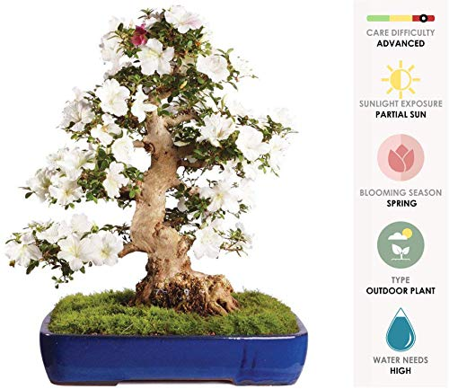- Brussel's Live Azalea Specimen Outdoor Bonsai Tree - 60 Years Old; 24