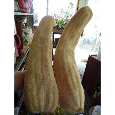10 Luffa Cylindrica Gourd Seeds! Make Your Own Sponges and Hand Made Soap! Easy! : Garden & Outdoor
