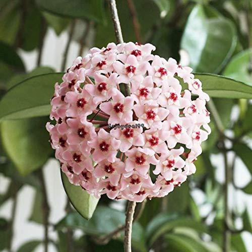vert Rouge: Nouveau N Adorable Fleur odorante Blooms Pine Graines IXH4