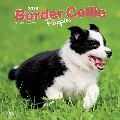 Border Collie Puppies 2019 12 x 12 Inch Monthly Square Wall Calendar, Animals Dog Breeds Collie Puppies (Multilingual Edition)