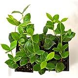 Amazon.com: Fragrant - House Plants / Live Indoor Plants: Grocery ...