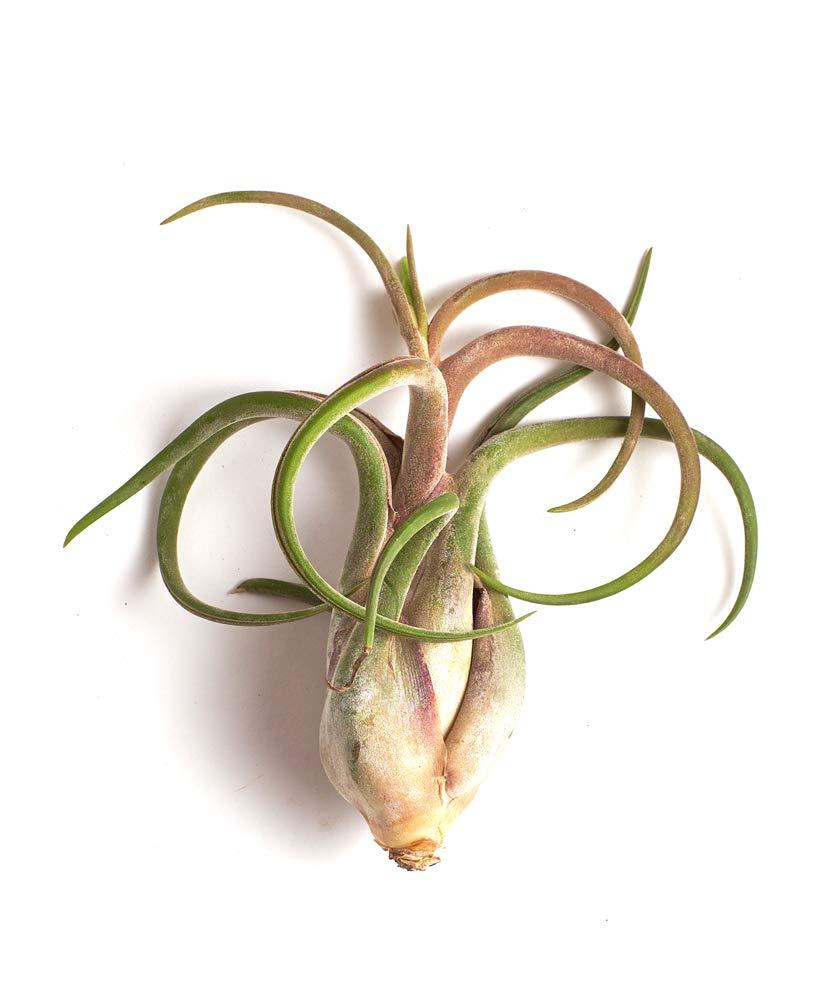 Shop Succulents Tillandsia Caput-Medusae Large Air Plant, Pack of 20