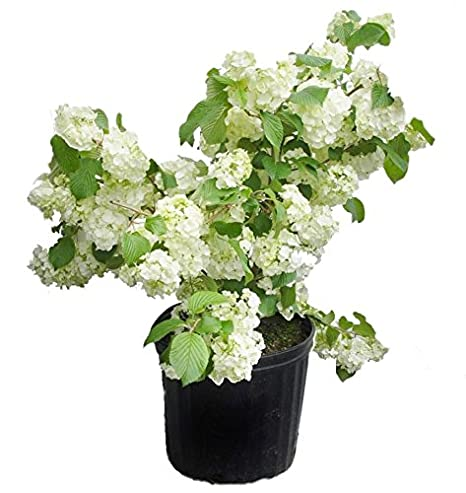 Amazon viburnum plicatum popcorn japanese snowball shrub viburnum plicatum popcorn japanese snowball shrub white ball shaped flowers mightylinksfo