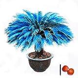 1pcs/Bag Blue Cycas Seeds Sago Palm Tree Seeds.Bonsai Flower seedsthe Budding Rate 97% Rare Potted Plant for Home Garden