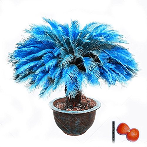 1pcs/Bag Blue Cycas Seeds Sago Palm Tree Seeds.Bonsai Flower seedsthe Budding Rate 97% Rare Potted Plant for Home Garden by WYBAM