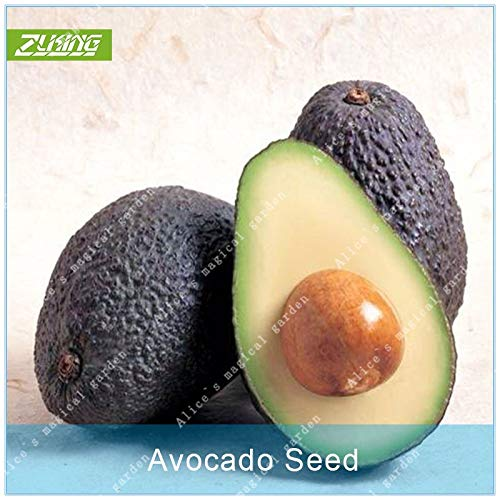 (Seed 10 Pcs Rare Green Exotic Avocado New Very Delicious Persea Americana Mill Pear Fruit Popular Perennial Plants)