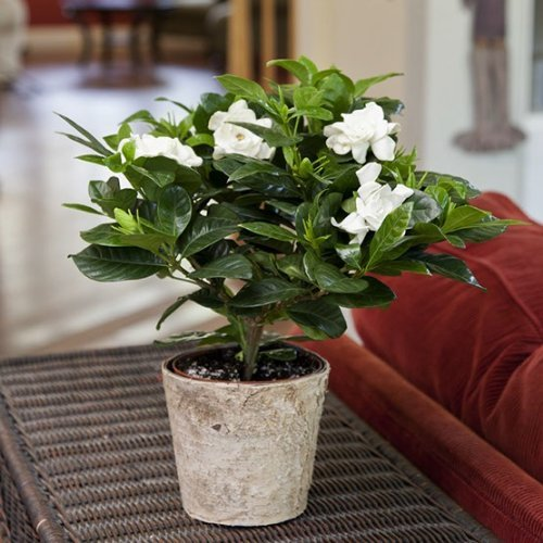 Gardenia in Birch Bark Container - Live Plant - Ships via 2 Day Air! - by GivingPlants