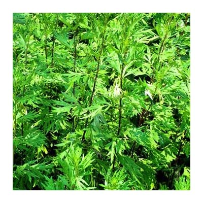 HEIRLOOM NON GMO Mugwort 100 seeds : Garden & Outdoor