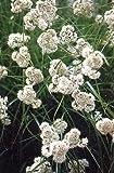 Snowy Woodrush 50 Seeds