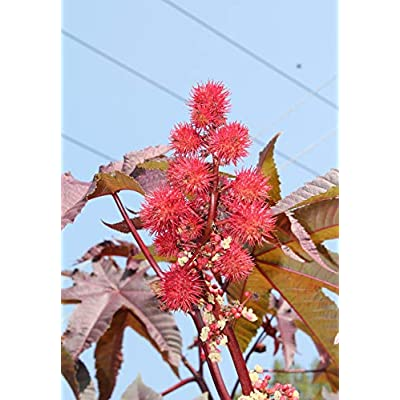 Ricinus Communis 'Red Giant' Seeds : Garden & Outdoor