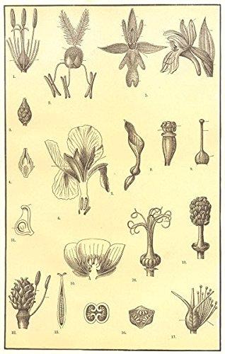 Amazon.com: FLOWER MORPHOLOGY. Bulrush Grass Orchid Iris ...