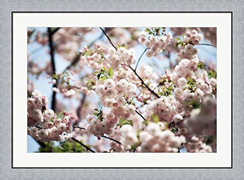 Temple Japan Ryoanji Kyoto (Close-up of cherry blossoms, Ryoanji Temple, Kyoto, Japan Framed Art Print Wall Picture, Flat Silver Frame, 38 x 28 inches)