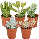 Succulent Mix - 5 Plants - House/Office Live Indoor Pot Plant - Ideal Gift