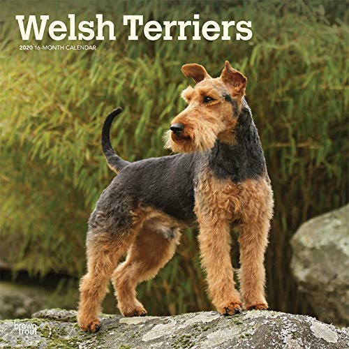 (Welsh Terriers 2020 12 x 12 Inch Monthly Square Wall Calendar, Animals Dog Breeds Terriers)