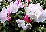 "Yaku Princess Rhododendron - Very Hardy - Spectacular - 4"" Pot"