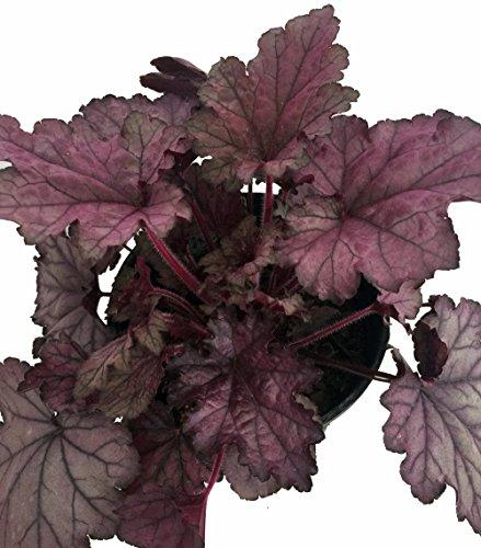 - Spellbound Coral Bells - Heuchera - Shade Perennial - Gallon Pot