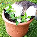 100 Spearmint Mint Seeds Edible Catnip Balcony Herb Seed Garden Bonsai For Planting Nepeta Cataria Flowering Pot Pet Best Gift