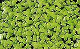 Outdoor Aquatic Plants