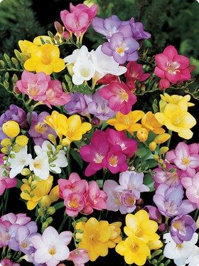 (Single Freesia Mix 100 bulbs)