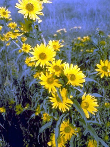 "MAXIMILLIAN SUNFLOWER ""Orange-Yellow Color"" 20+ Perennial Seeds"
