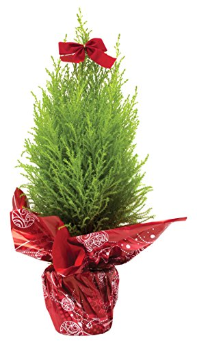 Burpee Live Christmas Tree for Holiday Decor,  5
