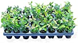 "10 Blueberry Bush Plants 3"" to 6"" Mixed Varieties Suitable for Your Climate Zone-State Inspected Includes 500 Free Blueberry Seeds with Every Order"