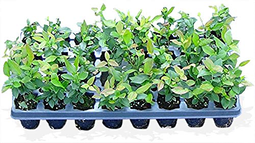 100 Blueberry Bush Plants Mixed Varieties Suitable for Your Climate Zone-State Inspected by Bon Bon's Blueberries (Image #6)