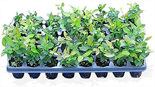 10 Blueberry Bush Plants 3