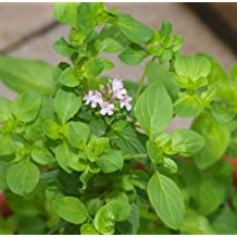 Greek Oregano Plant Two 2 Live Plants Each 4In to 7In Tall In 3.5In Pots