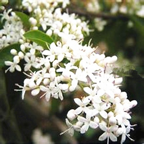 Blooming Jasmine Night (Seeds and Farms- Night Blooming Jasmine 200 seeds)