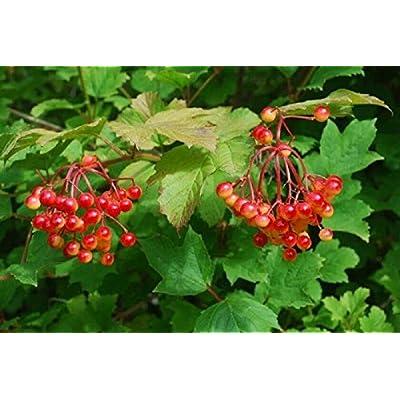 Viburnum OPULUS 'NOTCUTT'- Starter Plant - Approx 6 INCH - DORMANT : Garden & Outdoor