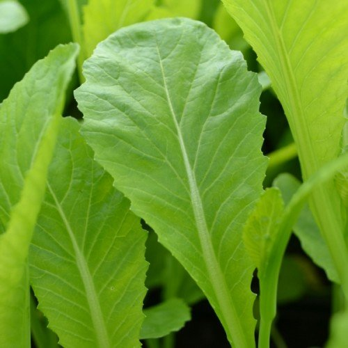 Oriental Seeds - Chinese Mustard Green in Snow - 1000 Seeds ()