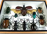 Real Display Insect Taxidermy Small Set in Box for Collectible Gift #11