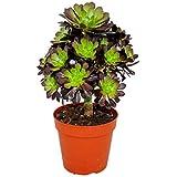 Rosetten-Dickblatt - Aeonium arboreum