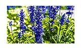 20x Large Delphinium Cultorums Blue F1Delphinium Seeds Plant # 289