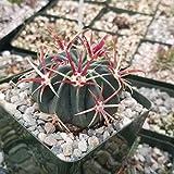 Ferocactus latispinus Devil's Tongue Cactus Cacti Succulent Real Live Plant