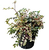 PlantVine Breynia disticha, Snow on The Mountain, Snowbush - 10 Inch Pot (3 Gallon), Live Plant - 4 Pack