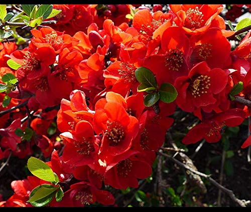 (Seeds Red Flowering Dwarf Quince Shrub Fruit Chaenomeles Japonica Scarlet Get 20 Seeds #LC01YN)