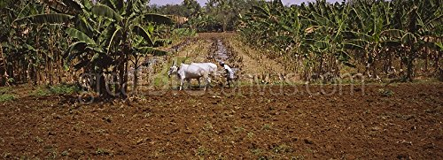 Farmer ploughing a field with oxen, Swamimalai, Kumbakonam, Thanjavur, Tamil Nadu, India Gallery-Wrapped Canvas