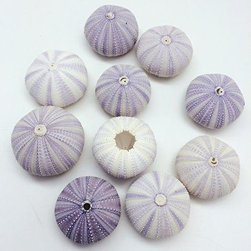 PEPPERLONELY 12PC Dried Purple Sea Urchins Sea Shells (1-3/4 Inch ~ 2-1/8 Inch) …