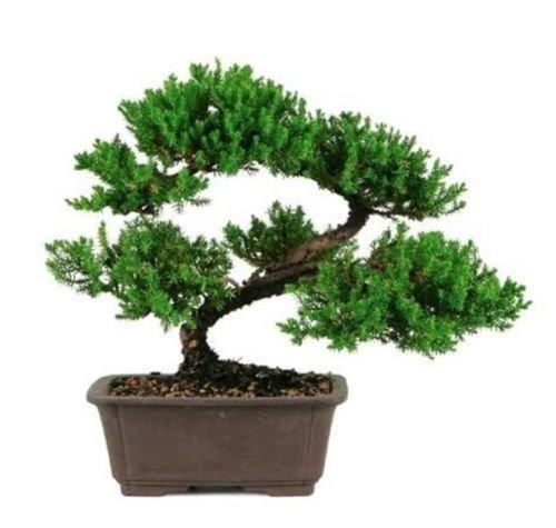 Large Japanese Dwarf Juniper Bonsai Tree GREAT