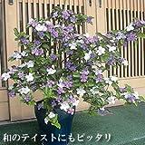 ジャスミンの香り漂う 香りばんまつり ( ニオイバンマツリ ) 1株 半耐寒性常緑低木