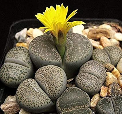 Amazon.com: 15 Seeds Lithops dorotheae Zorro, Exotic Living ...