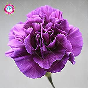 Rare Black Carnation Seeds Balcony Potted Courtyard Garden Plants Rose Dianthus Caryophyllus Flower Seeds 100PCS Free Shipping 3