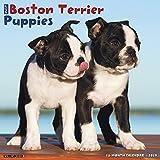 Just Boston Terrier Puppies 2019 Wall Calendar