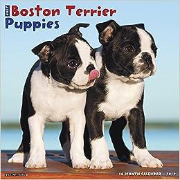 Just Boston Terrier Puppies 2019 Wall Calendar Dog Breed Calendar