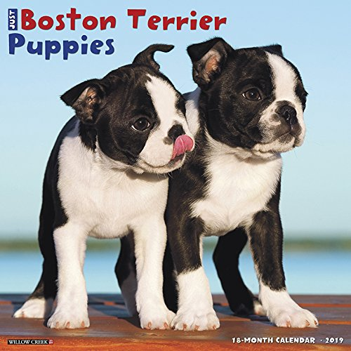 Buy now Just Boston Terrier Puppies 2019 Wall