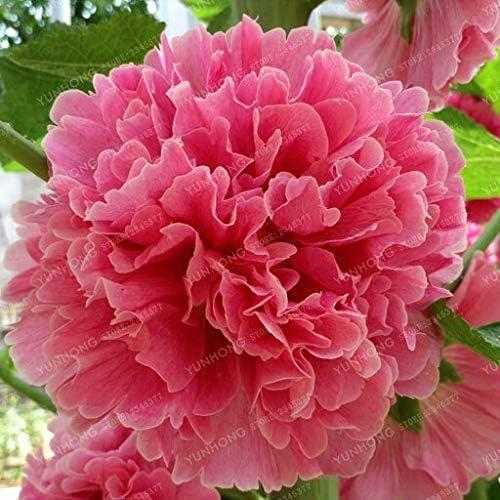 Semillas de malva raras Bonsai Althaea Rosea Semillas de flores Jardín de casa Flores al aire libre 100 Unids/bolsa Semillas de malva color mezclado: Amazon.es: Jardín