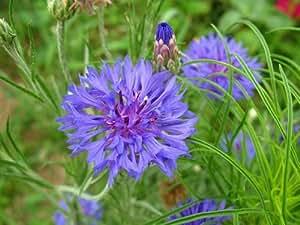 Botao de bacharel azul aciano Centaurea cya Sementes anual embalagem originales 50 semillas / Paquete Jardim Hurtsickle