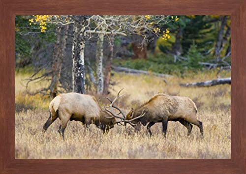 CO, Rocky MTS, Moraine Valley Bull elks Sparring by Fred Lord - 20